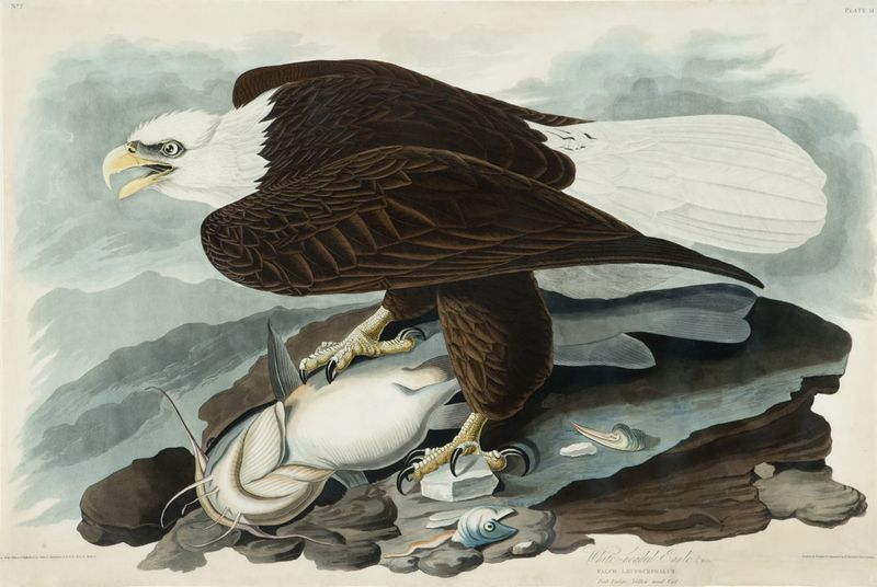 Audubon-bald-eagle-